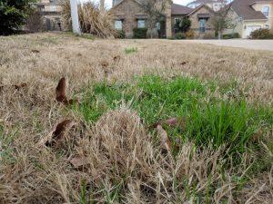 Winter Rye / POA Annua