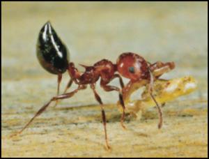 Common Household Ants Sugar Ants Pharaoh Ants Acrobat