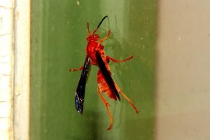Red Wasp control