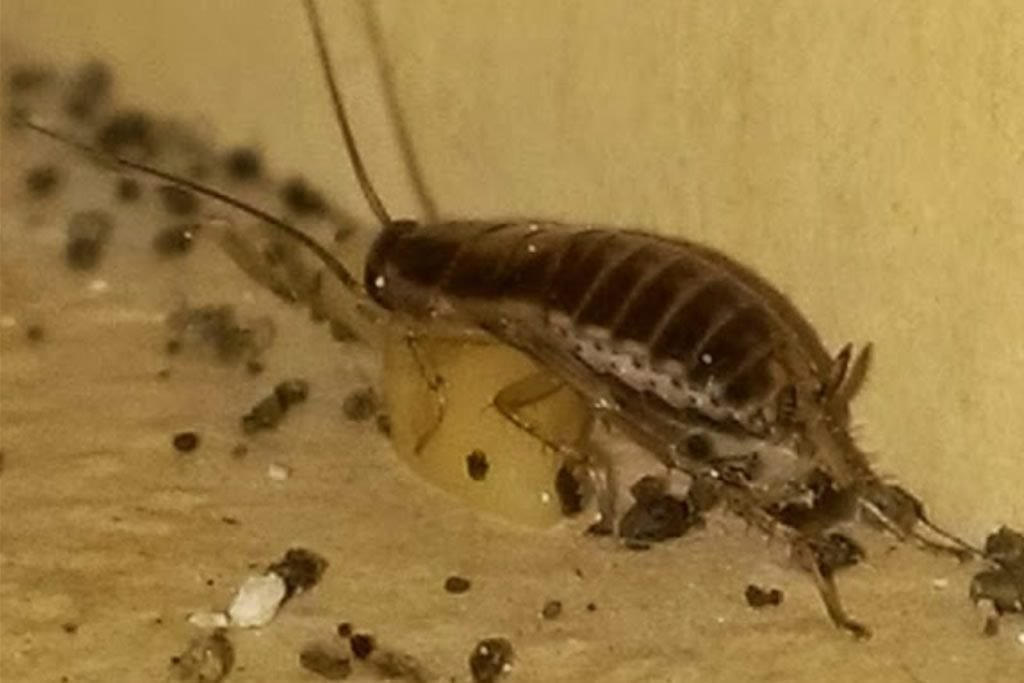 german cockroach austin tx