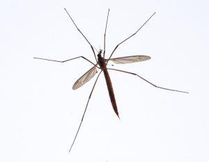 crane fly pest control austin texas