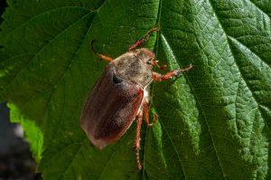 June-Bug-magic-pest-austin-tx