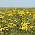 dandelion-in-austin-tx-lawn-control