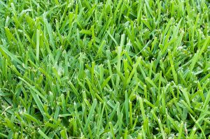 St Augustine Grass Magic Pest